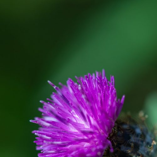 Fleur de chardon