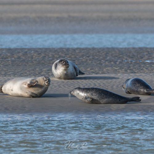 Phoques se prélassant sur un banc de sable
