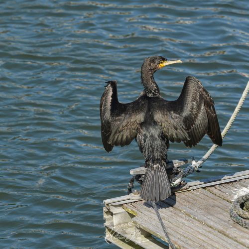 Cormoran séchant sur le ponton